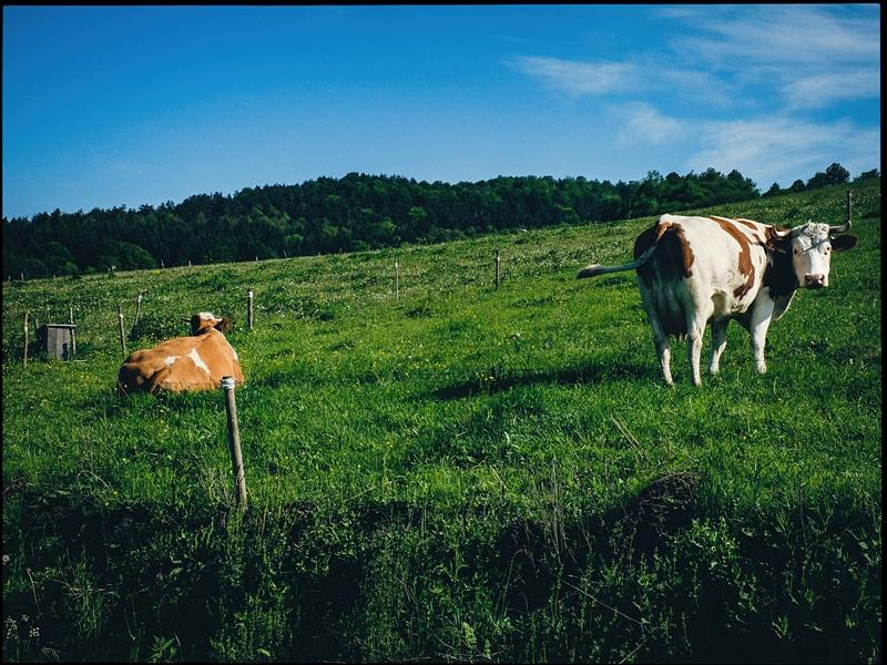 Leniwe przeżuwanie na okolicznych pastwiskach.